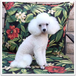 Mid Atlantic Poodle Breeders Nj Ny And Pa Poodleforum 791